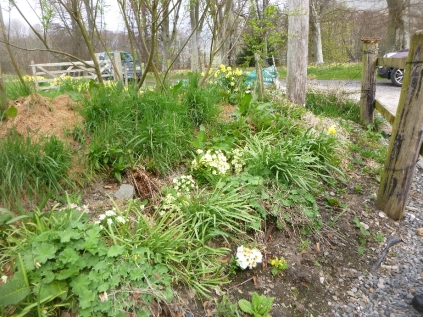 Primrose in hedge - 07052016