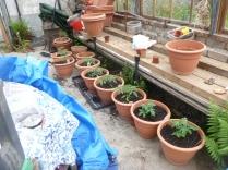 Tomato plants - 07052016