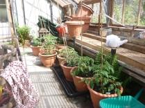 Tomato plants - 17052016