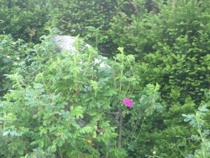First rose in rose garden - 18062016
