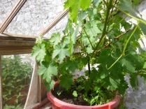 Grapes - 04062016