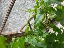 Grapes 2 - 04062016