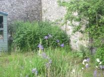 Iris in nursery - 18062016