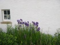 Iris - purple - 18062016