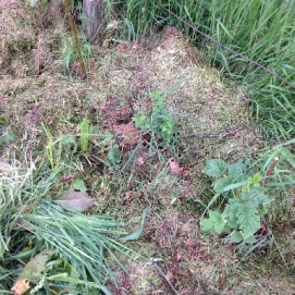 Mulched Hedge 2 - 15062016 - SH
