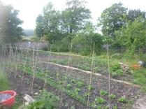 SWG veg patch - 18062016