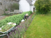 Weeding lavender - 11062016