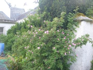 Wild rose in rose garden - 18062016