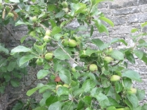 Apple tree - 02072016