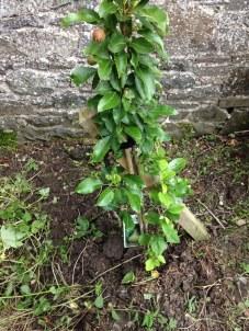 Apple tree - weeded - 05072016 - SH