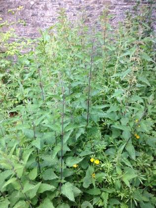 Back corner weeds 1 - 05072016 - SH