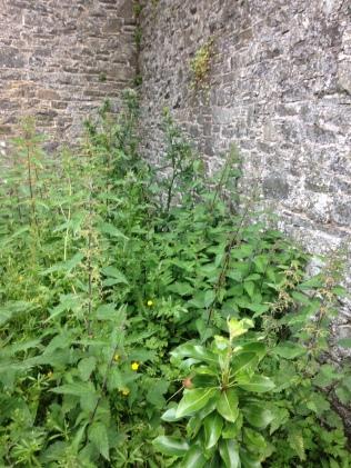 Back corner weeds 2 - 05072016 - SH