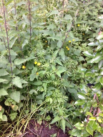 Back corner weeds 3 - 05072016 - SH