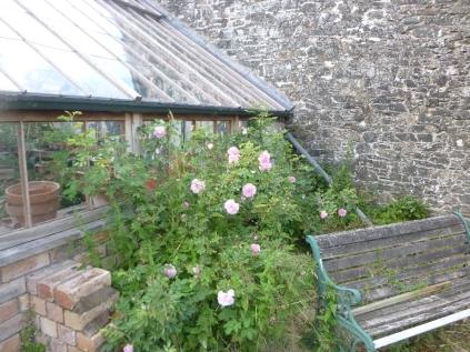 Flower garden - rose - 08072016