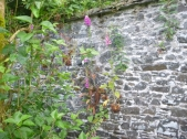 Foxgloves in wall - 02072016