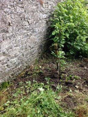 Fruit tree - weeded 2 - 05072016 - SH