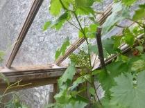 Glasshosue - vines 2 - 02072016