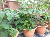 Glasshouse - tomatoes - 02072016