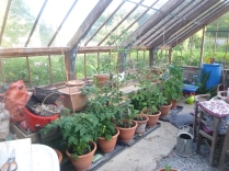 Glasshouse - tomatoes - 08072016