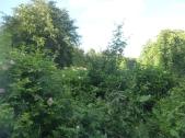 Hedge - 08072016