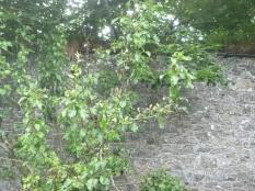 Pear tree - original - 02072016