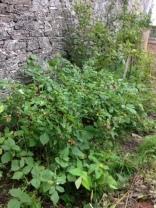 Raspberries 1 - 18072016 - SH