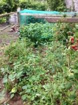 Raspberries 4 - 18072016 - SH