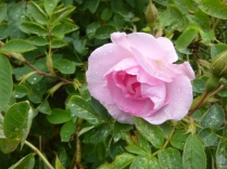 Rose by glasshouse 2 - 02072016