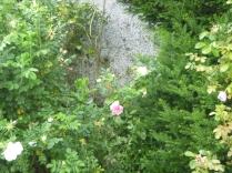 Rose garden 3 - 09072016