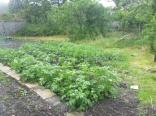 SWG - Potato patch - 02072016