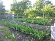 SWG - veg patch 1 - 08072016