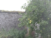 apple-trees-1-24092016