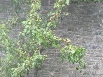 pears-03092016