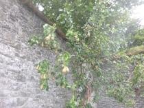 pears-24092106