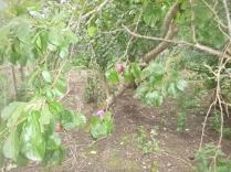 plum-trees-2-24092016