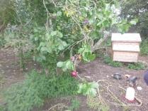 plum-trees-24092016