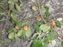 plums-24092016