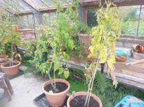 tomatoes-2-24092016