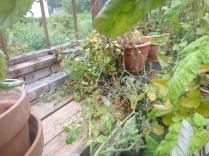 tomatoes-24092016