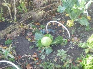 garden-cabbage-31102016