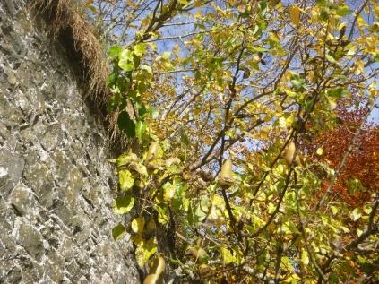 garden-pears-31102016