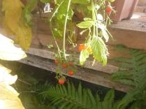 glasshouse-tomatoes-31102016