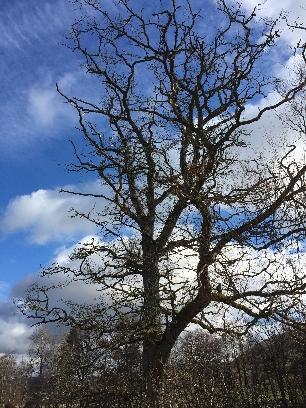 Oak tree 1 - 12032017