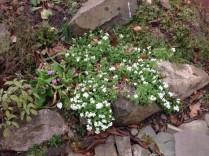 Rockery flowers 1 - 13032017 - SH