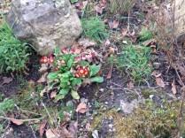 Rockery flowers 2 - 13032017 - SH