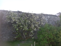 Apple blossom - 05052017