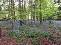 Bluebell woods 1 - 16052017 - TC