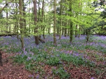 Bluebell woods 1 - 16052017 - TC