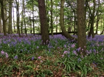 Bluebell woods 2 - 16052017 - TC