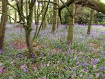 Bluebell woods 3 - 16052017 - TC